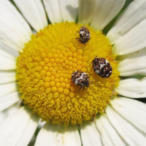 Adult carpet Beetles feeding on a flower