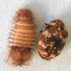 Carpet Beetle (R) and Larvae (L)