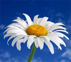 Pyrethrum Daisy