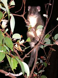 ringtail-possum
