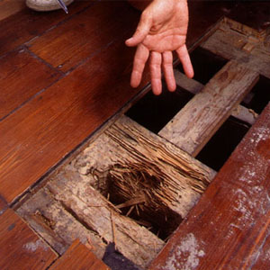 Superior Termite Damage To Floorboards In A House