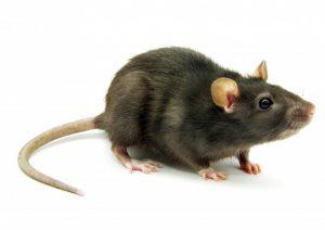 black-rat