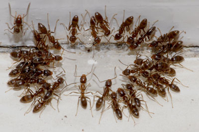 Ant Control In Wa Homes How To Get Rid Of Ants