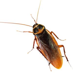 Australian Black Cockroach