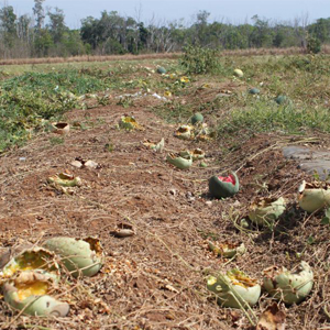 Crop damage caused by birds can be extensive