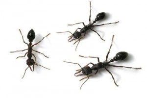 getting rid of ants and eliminating termites - Bull ants