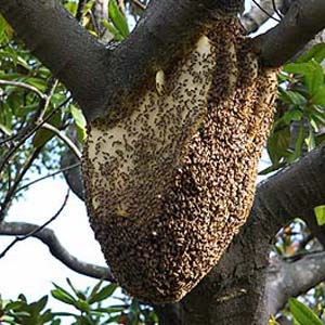 Honeybee nest in a tree