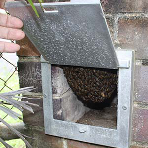 Honeybee nest in letterbox