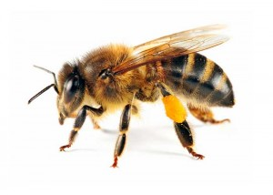 Picture of Honeybee