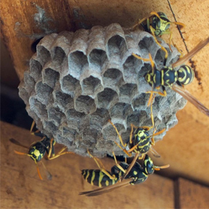 paper wasp nest perth pest control