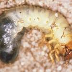Lawn Beetle Larvae