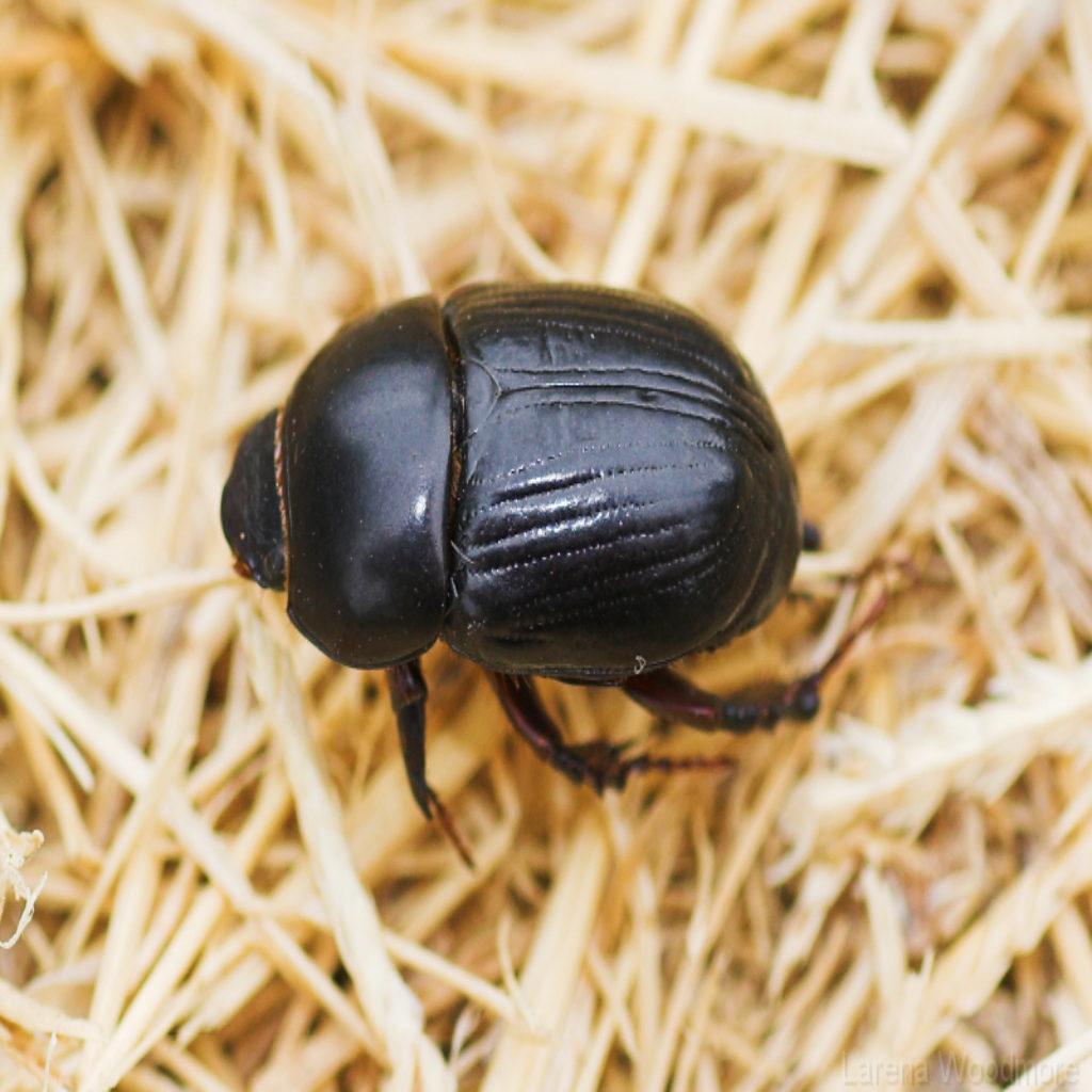 Black carpet beetle  Wikipedia