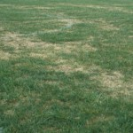 Lawn damage from Lawn Beetle 1