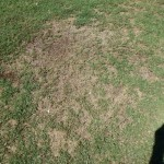 Lawn damage from Lawn Beetle 2