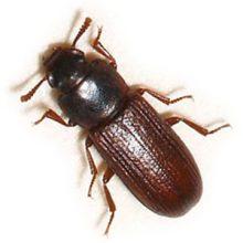 Rust Red Flour Beetle