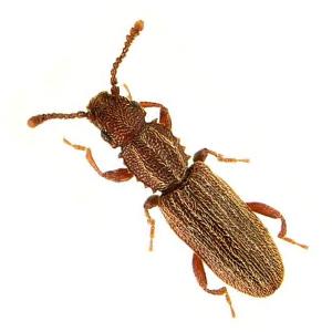 saw-tooth-grain-beetle